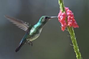 Colibri à menton bleu Chlorestes notata Blue-chinned Sapphire